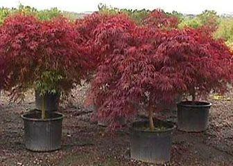Red Dragon Japanese Maple http://en.wikipedia.org/wiki/Acer_palmatum http://japaneseredmaples.debgallardo.com