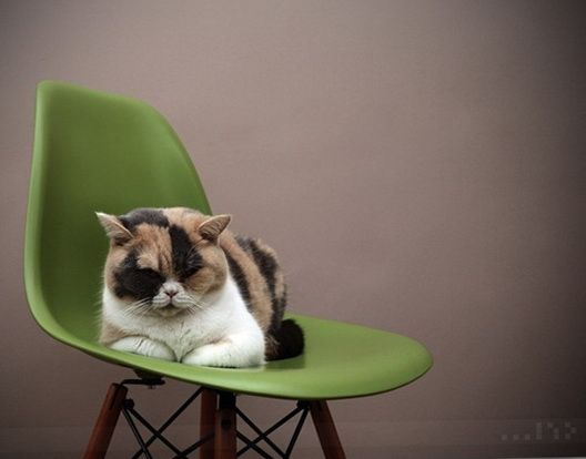 Cat on a green Eames DSW Chair