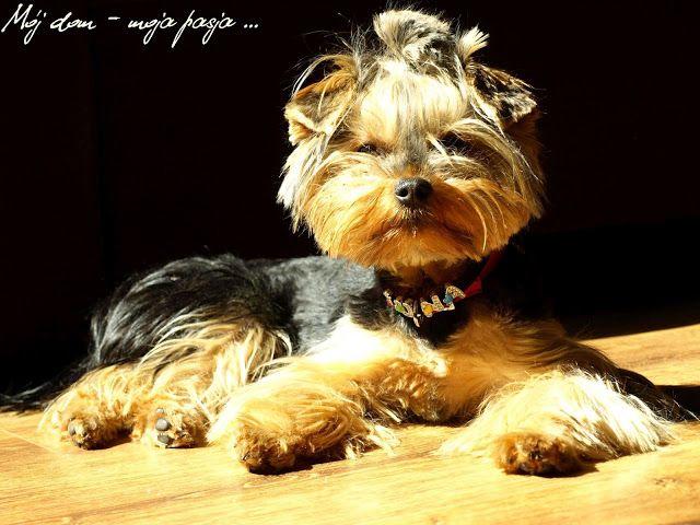 dog, yorkshire terrier, puppy angel