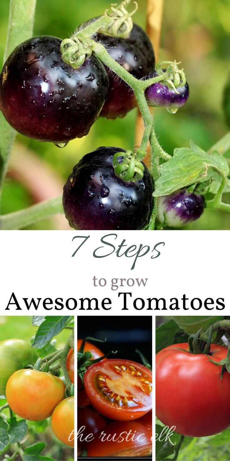 Want to grow the best tomato crop ever? Here are 7 steps to grow awesome tomatoes! From start to finish, this guide will get you the tomatoes you want right from your own garden this season! #gardening