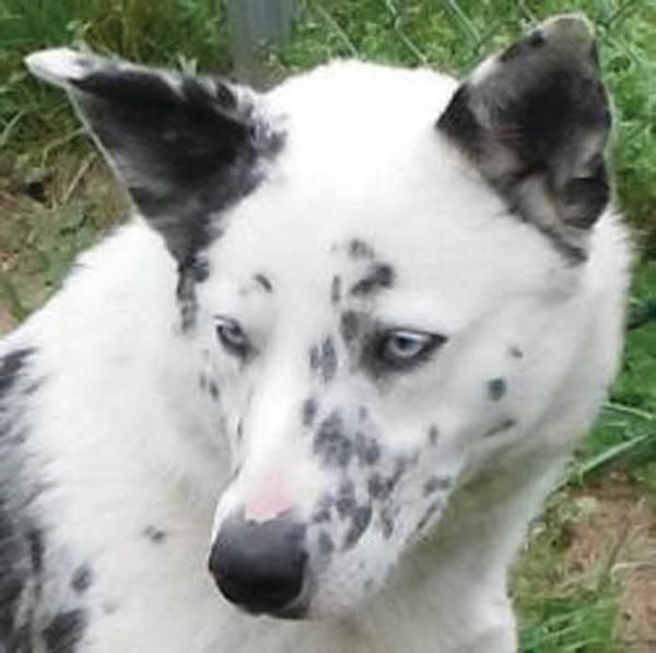 dalmatian german shepherd mix - Google Search | dogs ...