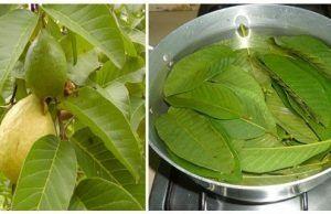 Las hojas de esta planta tienen la cura de la diabetes
