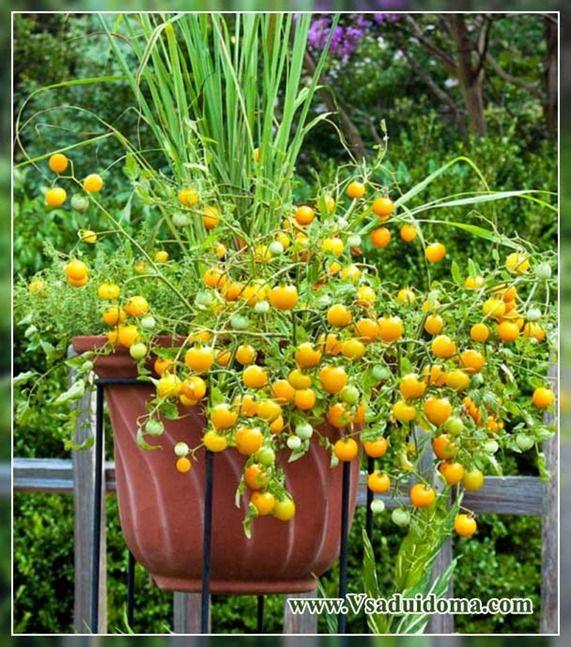 ампельные помидоры выращивание