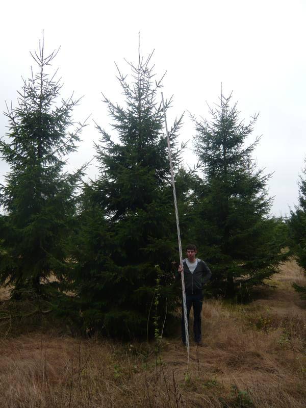 Auch die Fichte / Rottanne Picea Abies eignet sich gut als Outdoor-Weihnachtsbaum. Hier die Größe 600-700cm.