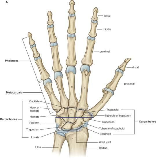 Diagram of Hand and Wrist | Wrist & Hand                                                                                                                                                                                 More