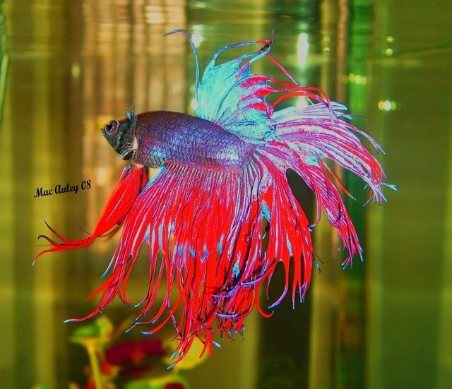 84 best images about pretty betta fish on pinterest rice for Cute betta fish
