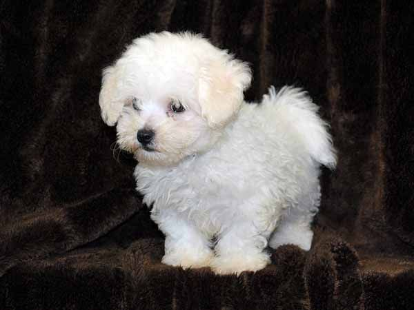 Litter Of 6 Bichon Frise Puppies For Sale In Aurora Co Adn 56772