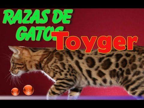 Raza de Gatos toyger - Caracterisitcas del Toyger - YouTube