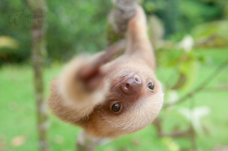 There's A Sloth Institute Which Looks After Baby Sloths That Lost Their Moms cute-baby-sloth-institute-costa-rica-sam-trull-3