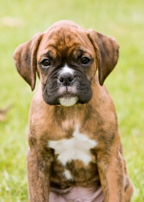 Call me crazy.....but this face makes me want another! Boxer puppies are SO sweet