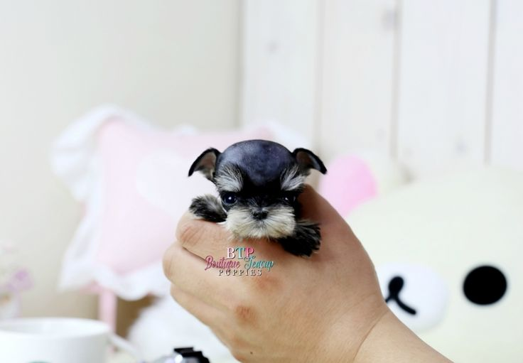 Adorable Jezebel Elite tiny teacup baby girl ~*AVAILABLE*~