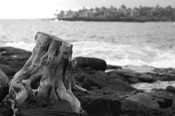 Black and white photography - Fine art print. Tree stump in lava field next to ocean, Hawaii.  Made by Gia, from $30.00 https://www.facebook.com/madebygia