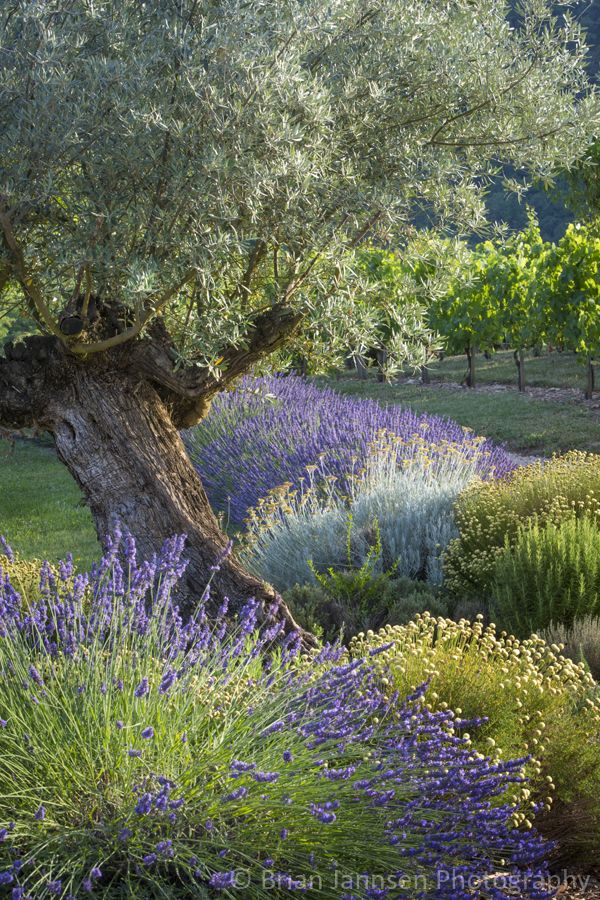Olive tree in the French garden, Midi-Pyrenees, France. © Brian Jannsen Photography