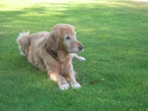 This is Bubbles and she is 11 years old. She gets along with everyone, is spayed, potty trained and up to date with vaccinations. Bubbles is looking for a forever home and is at Gold Ribbon Golden Retriever Rescue, Austin, TX.