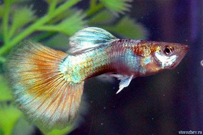 Aquarium Fishes Names And Pictures Aquarium Tropical Fish Little