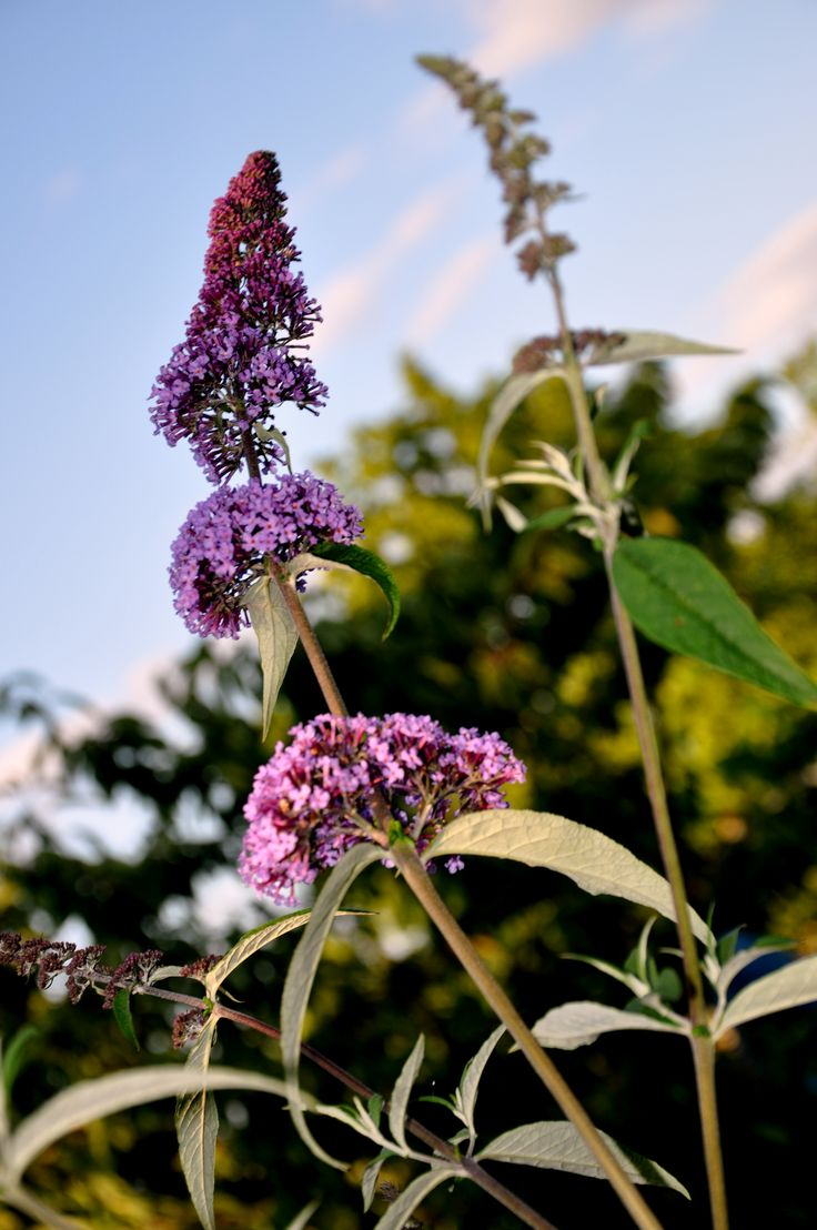 Garden butterfly bush - RS FOTO