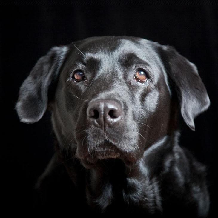 Black Labs are one of the most beautiful breeds in the dog