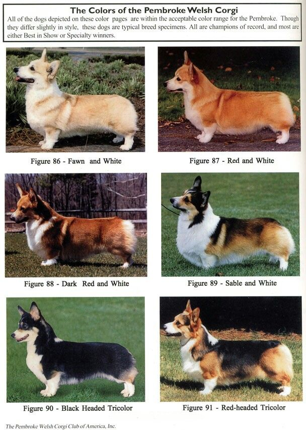 Pembroke Welsh Corgis. Not sure if I'd call Matilda fawn or red.                                                                                                                                                     More