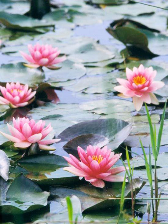 17 best images about retention pond plants on pinterest for Recommended pond plants