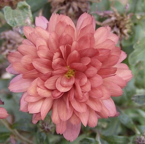 Mums are pretty hardy perennials, if you don't treat them like fall-blooming annuals. Tips for growing and extending the life of these flowers.