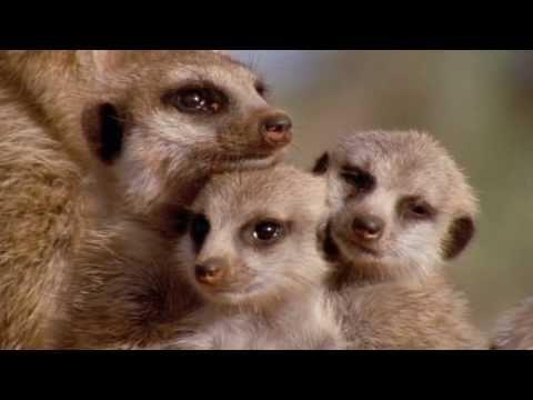 Very Funny Meerkats In HD