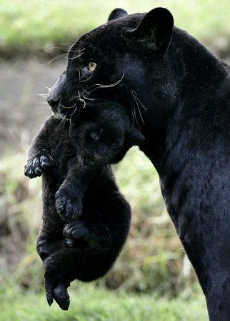 "* * MOM PANTHER: "" Zoo life iz no life fer us. I iz takin' yoo somewhere humans can'ts leer over ya."""