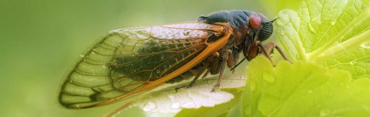 What's fascinating about periodical cicadas is their sheer numbers and the mysterious timing of their emergence from hiding. Follow link to learn more.
