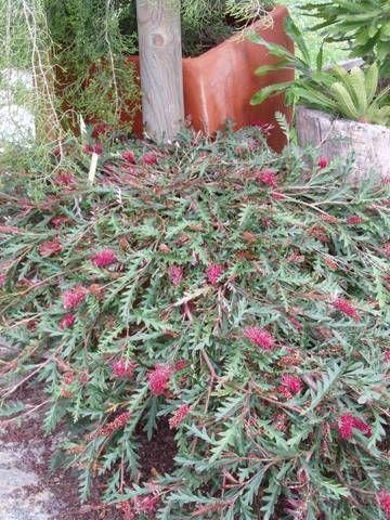 Grevillea 'Austraflora Fanfare' • Australian Native Plants Nursery • Plants • 800.701.6517 Good for dam bank coverage!