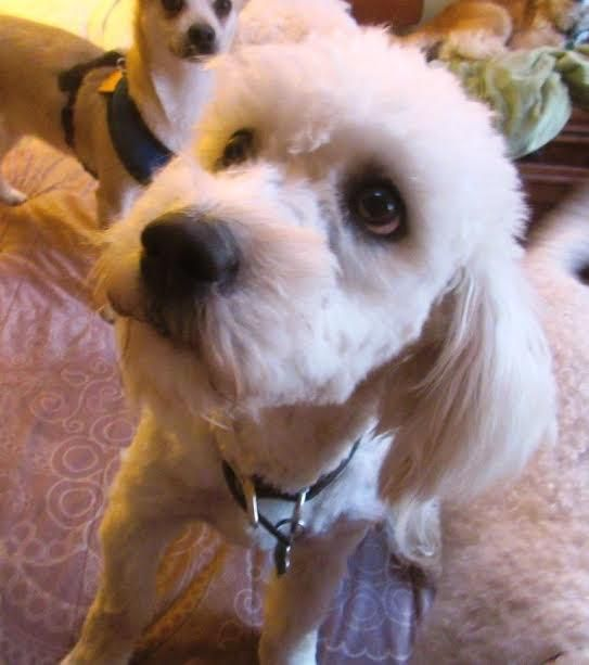Matilda is an adoptable Cockapoo searching for a forever family near Bracebridge, ON. Use Petfinder to find adoptable pets in your area.