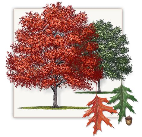 Shumard Red Oak Tree | Mature Height: 50' - 60' | Fall Color: Shades of Red and Yellow | Growth Rate: 2' to 3' Per Year  #trees #landscaping #gardening