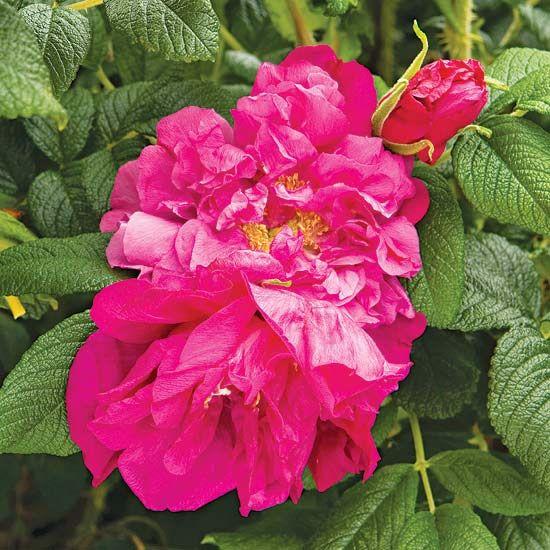 171 best rose flower power images on pinterest beautiful flowers flower power and plants - Rose cultivars garden ...
