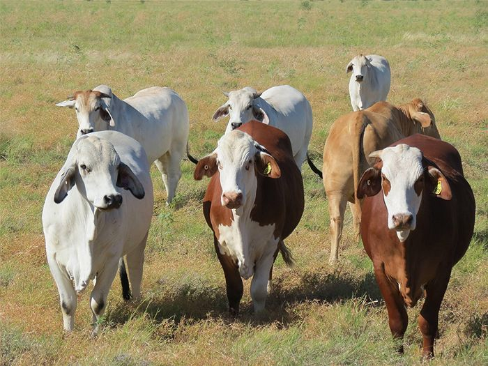 Australian Braford | The Harrington's Barford cattle on the right were the overall best ...