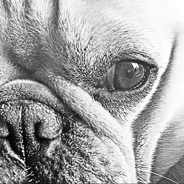 Face French Bulldog