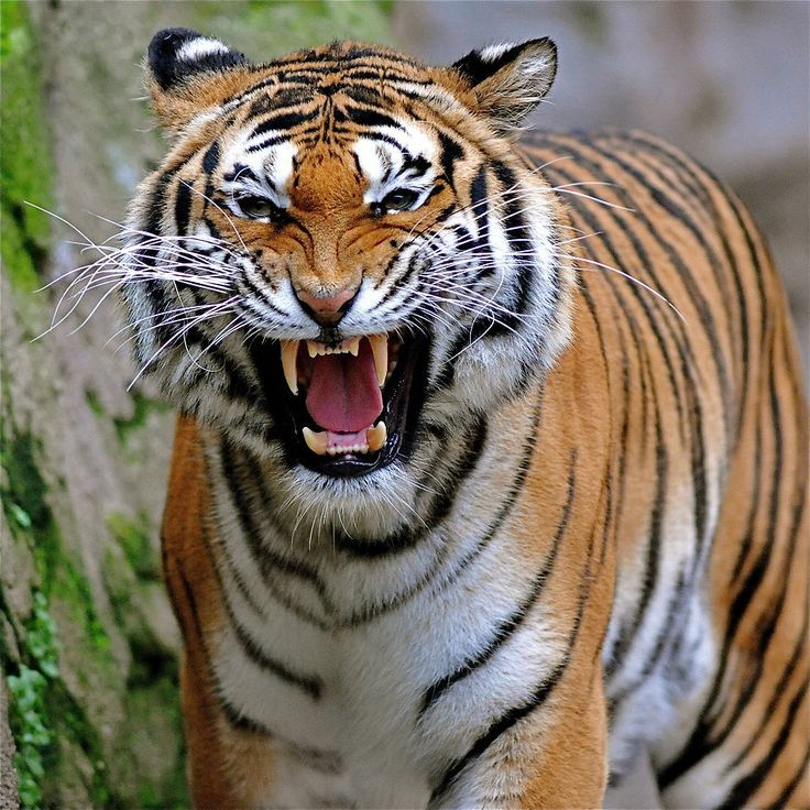 Tigers Wallpaper Wild Tiger Animal Wallpapers Gallery