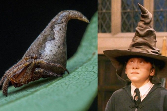 La nuova specie di ragno che omaggia il cappello parlante di Harry Potter