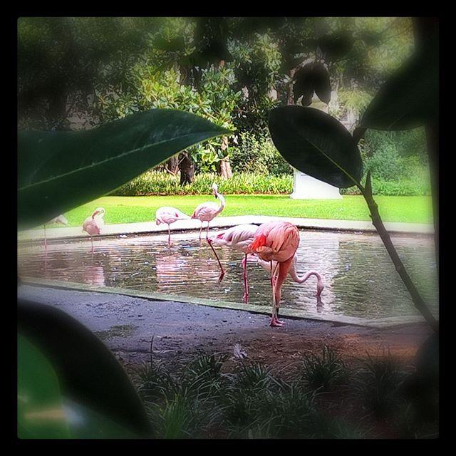 #flamingo #birds #pink #shotonmylumia #shotonlumia #lumiaphotography #pink #fenicotteri #rosa #uccelli #milano #milanogram #milanogram2016  #milanocityufficiale #igers #igersitalia #instagrammers #instamood #instacool #birdsofinstagram