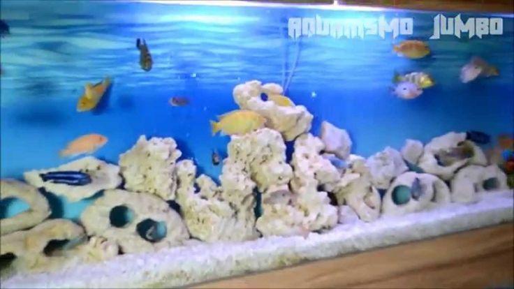 TV AQUARISMO JUMBO - Episódio 17 - Ciclídeos - Jorge Alexandre