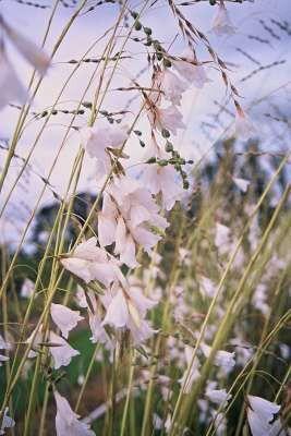 Dierama Pulcherrimum Dove  White 3/21.00