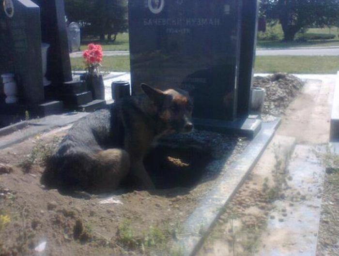 #интересное  Зоозащитница спасла собаку, поселившуюся на могиле умершего хозяина (8 фото)   Фотографии немецкой овчарки из Сербии, вырывшей нору на могиле умершего хозяина, облетели весь интернет, и зоозащитница Весна Михайлоски (Vesna Mihajloski) решила отыскать живот