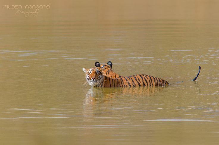 Two Headed Tiger ….. :P - Maya And her sibling tigress (At Pandarponi Taka no-2) Tadoba, Mahareshtra,India. May 2012.  This is one of the starting trip of my tiger journey. This is from 2012 collection when , now famous Tigress MAYA is young at the age of around 22 to 26 months. She and her sibling playing in the water for long time that day we had bag full of images of them. I love this sighting personally because maya grow in front of our eyes and now she is dominant female of pandarponi…