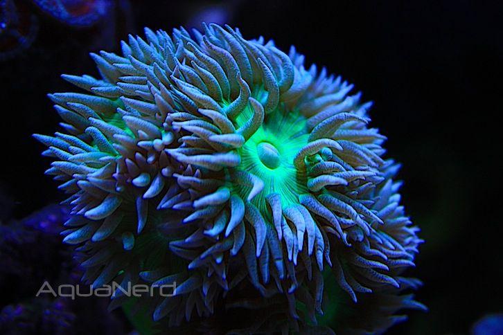 Duncan Coral (Duncanopsammia axifuga)