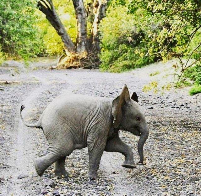 Marching baby elephant!