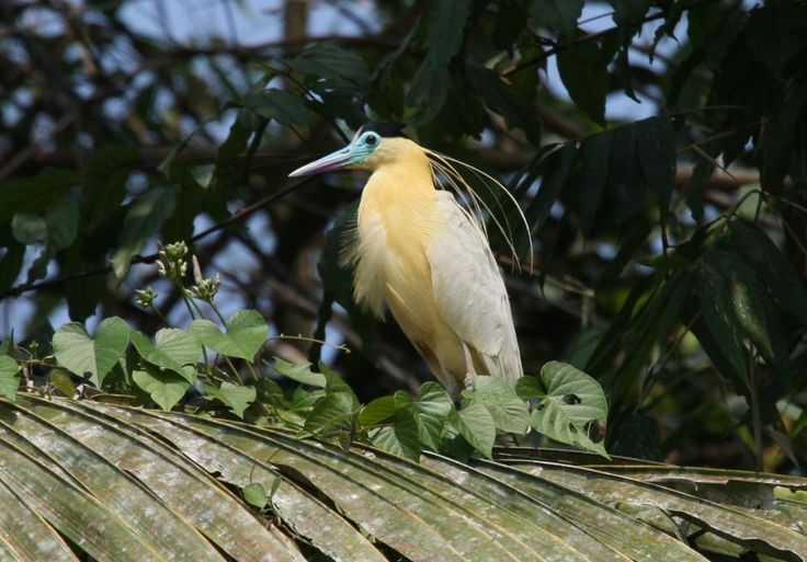 Capped Heron (Pilherodius pileatus) Bird near the banks of Alto Rio Madre de Dios