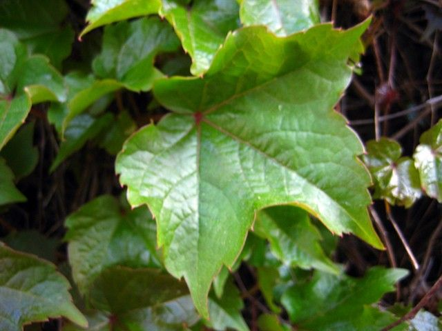 Boston Ivy Care: Tips For Growing And Planting Boston Ivy