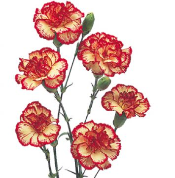 drawings of carnations | Mini carnation flowers pictures.