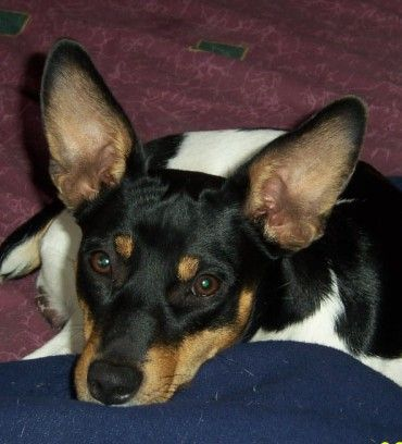 So did you want to just sit here or go play? ~ Rat Terrier - Ti - Because either one is good with me!