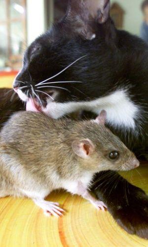 Amizades Improváveis - A gata Auan, de nove anos, lambe o ratinho Jeena, que é criado como filhote pela gata há três anos. Os animais vivem em uma fazenda ao norte de Bangcoc, na Tailândia