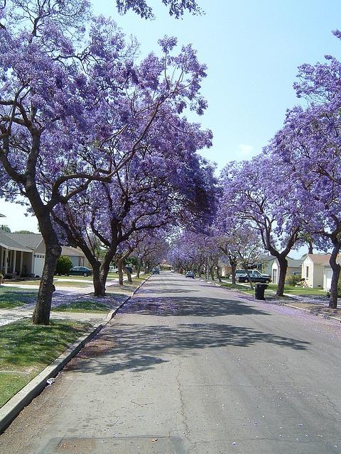 Jacaranda Trees Long Beach And Around Pinterest California