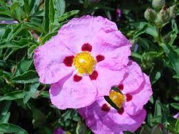 CZYSTEK -  jedna roślina, wiele korzyści!  Jego lecznicza siła jest przydatna w przypadku grypy, przeziębienia i ostrego zapalenia migdałków. Można go stosować przy stanach zapalnych, infekcjach wirusowych i bakteryjnych. http://zdrowiemojapasja.pl/Czystek