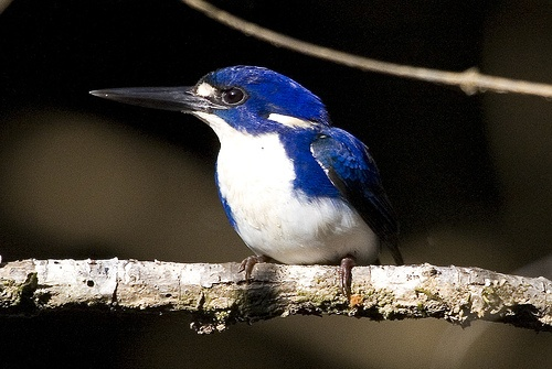 Little Kingfisher (alcedo pusilla)